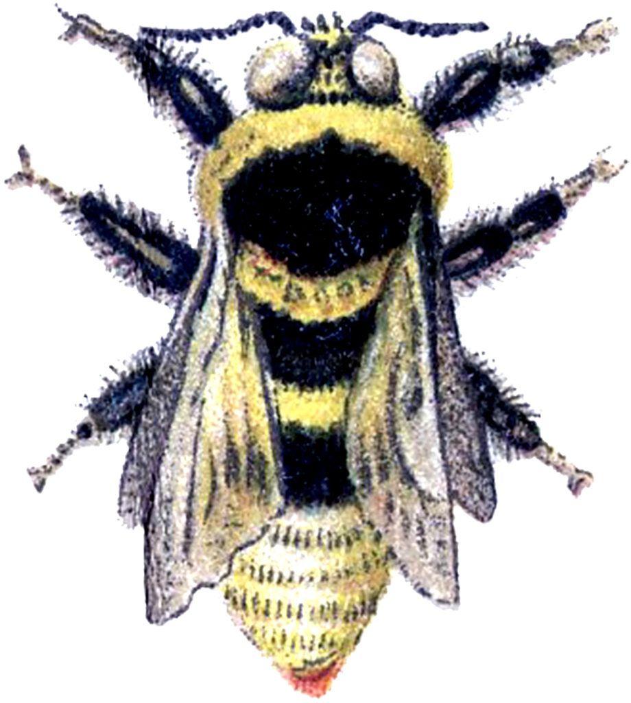 Vintage-Bee-Clip-Art-GraphicsFairy