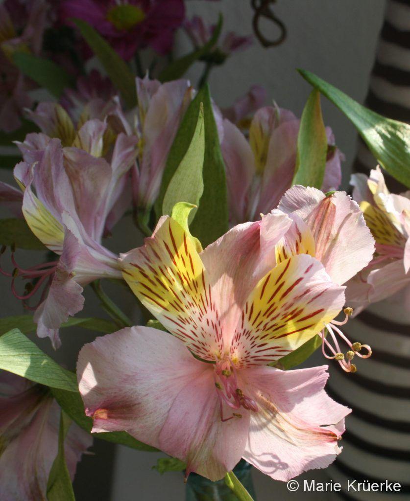 BlüteRosa