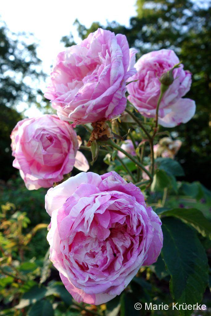Üppige Rose