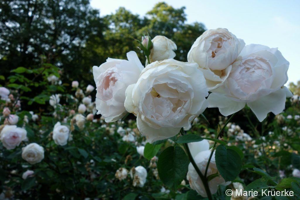 Rosen auf dem Friedhof Ohlsdorf